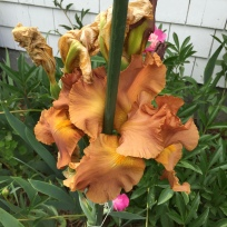 copper colored iris